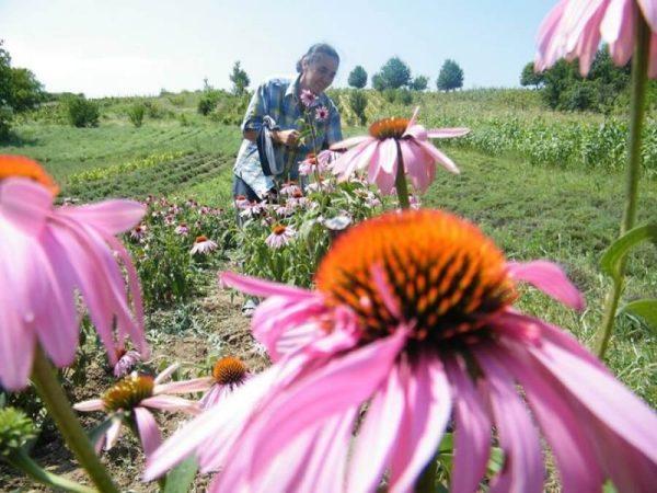 farmacia-naturii-plante-ecologice-ceai-ecologic