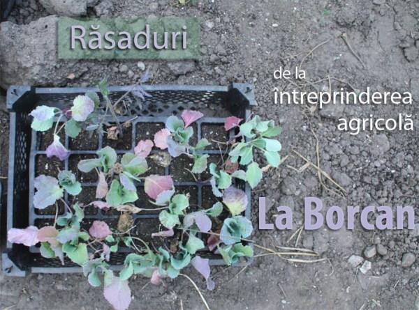 Ladita cu rasaduri de la intreprinderea agricola La Borcan