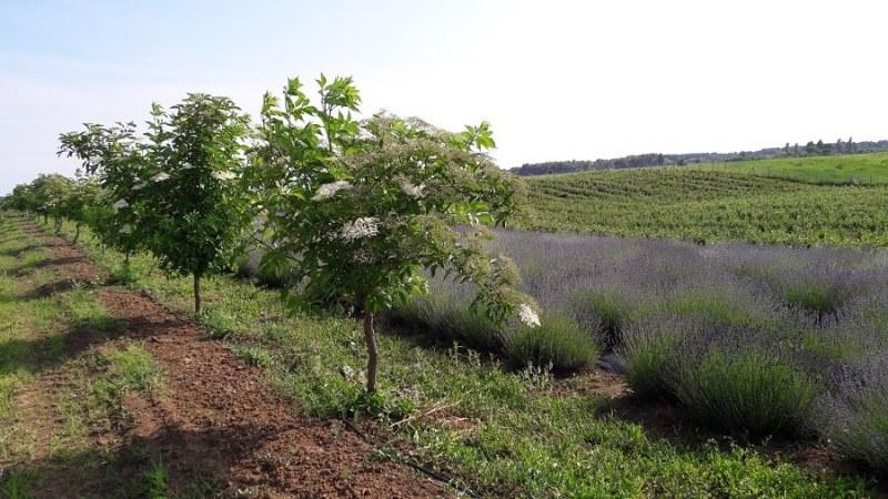 Sana plant extract, plantatie lavanda, mur, soc si aronia, sucuri naturale (10)