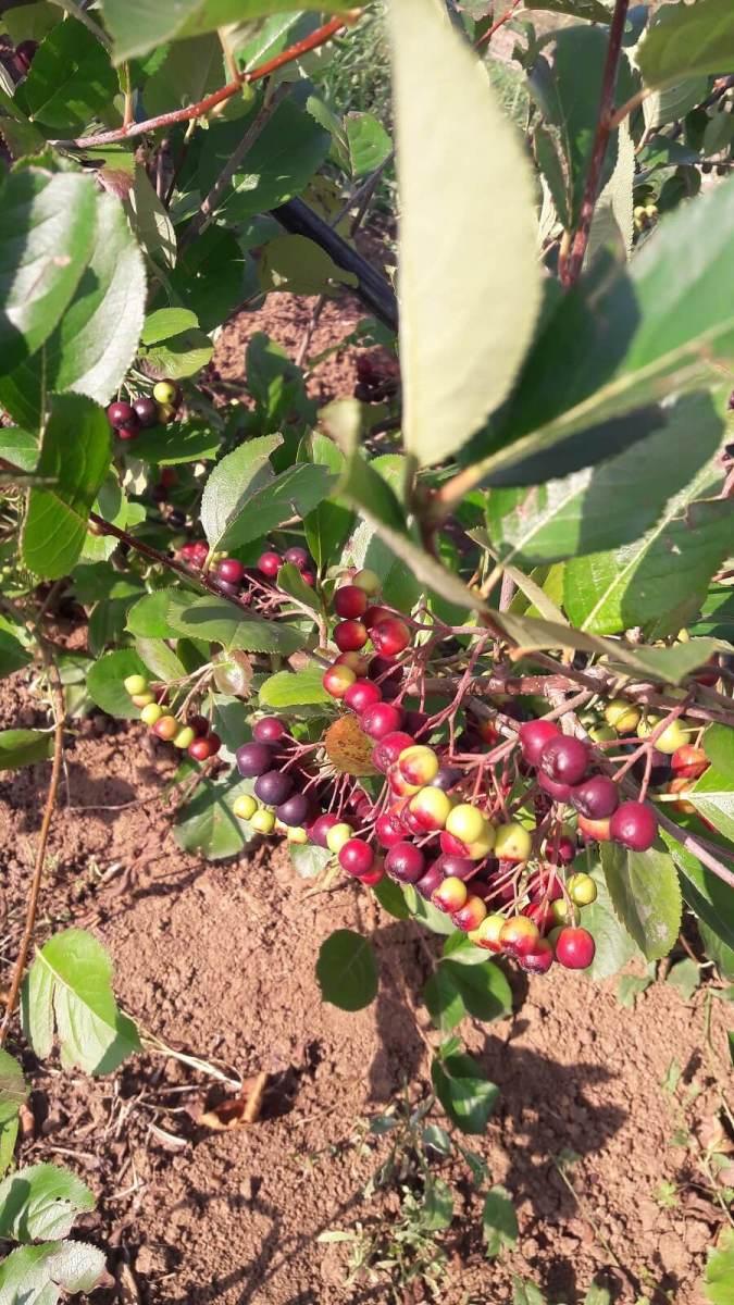 Sana plant extract, plantatie lavanda, mur, soc si aronia, sucuri naturale (15)