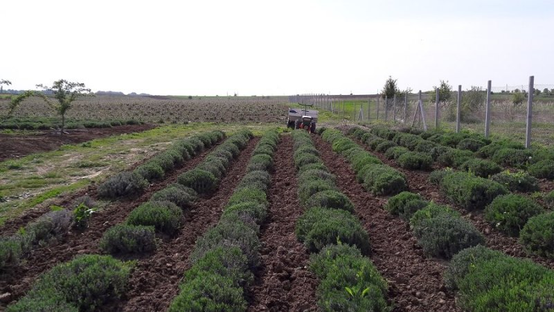 Sana plant extract, plantatie lavanda, mur, soc si aronia, sucuri naturale (4)