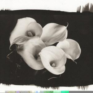 Platinum print of five Calla Lilies