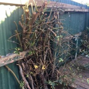 1) Removing old rose bush from fence