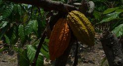 Cacao - (Chocolate!)