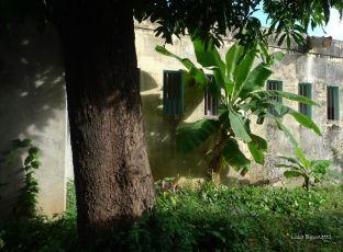 P1220415 RIVAS GREEN BANANA FOLIAGE