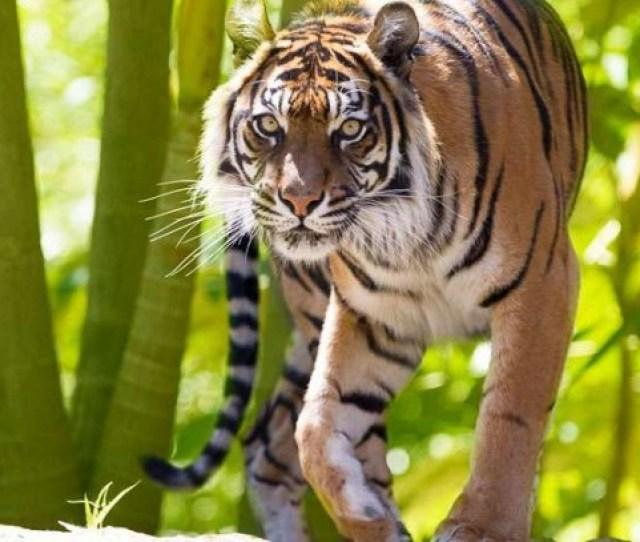 Zoo Tiger Image