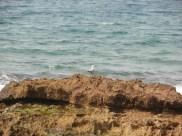 Gaviota posada en las dunas fósiles de Cala Magre