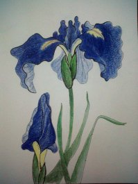 Iris from a card