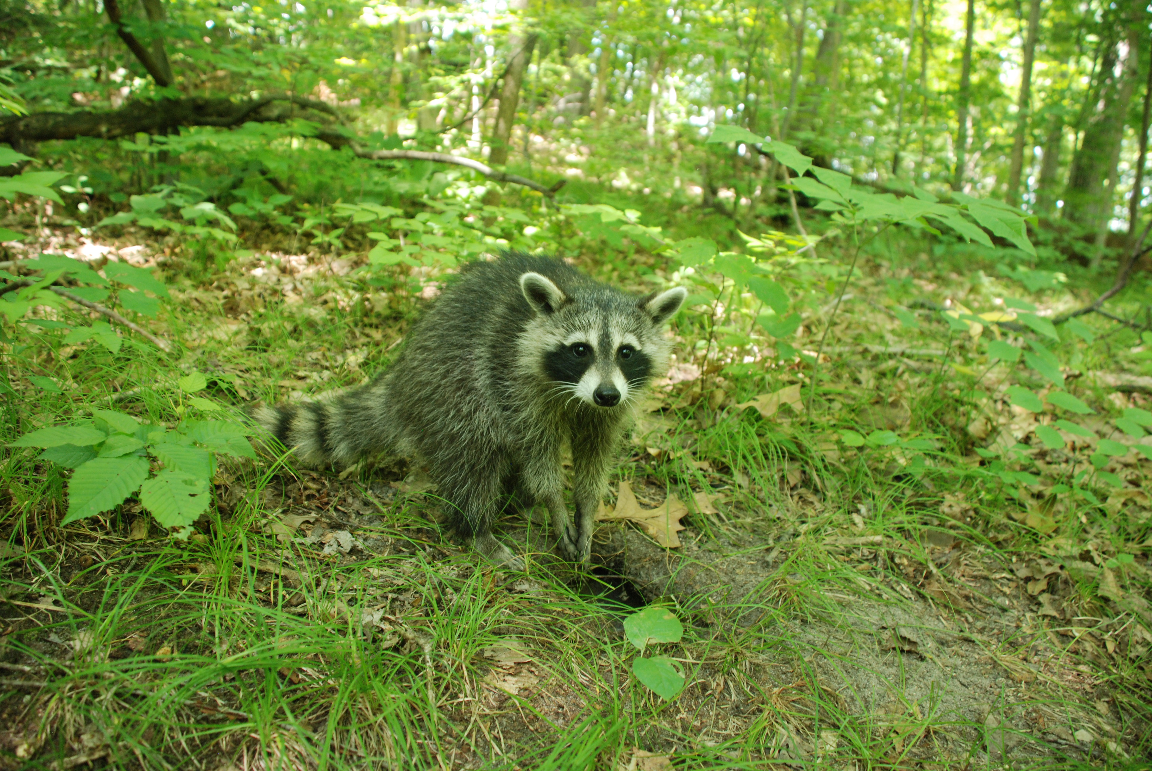 Raccoons Masters Of Adaptation Oakland County Blog