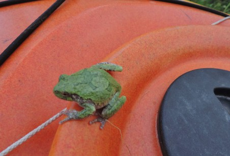A gray treefrog lounges on a kayak.