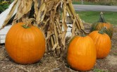 Corn stalks decorated with pumpkins.