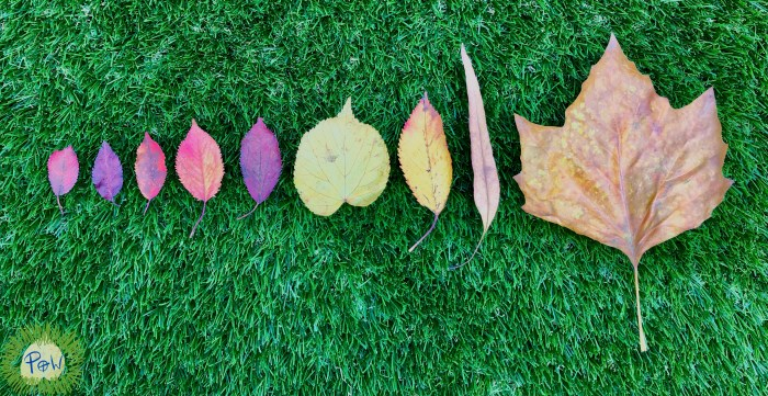 Autumn leaf activity for children. Autumn leaf activity for preschoolers. Ordering leaves by size. Shortest to longest.