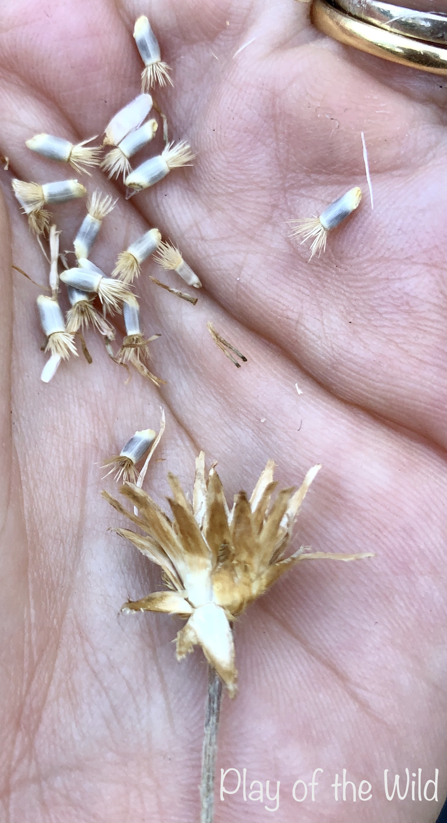 Collecting cornflower seeds from flowers.