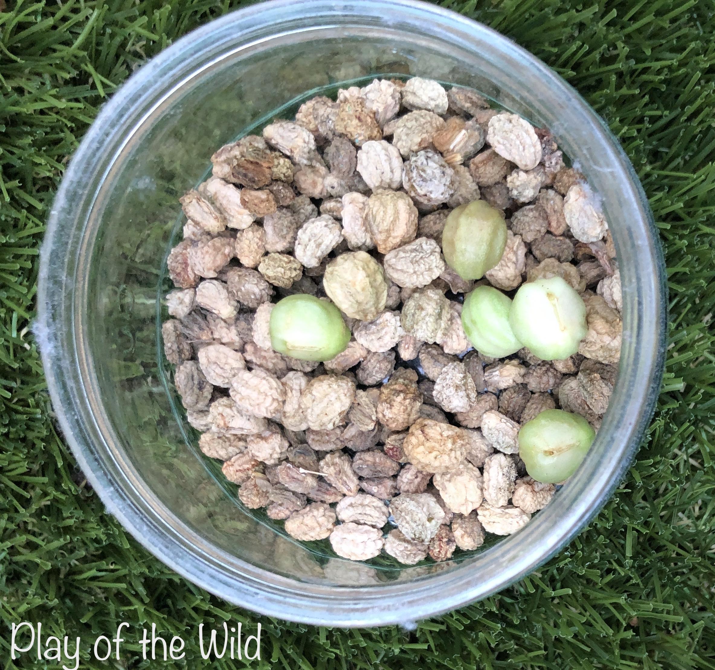 Nasturtium seeds collected by children.