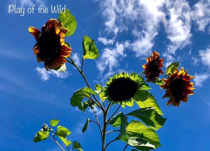 Play of the Wild.  Growing Sunflowers with children.