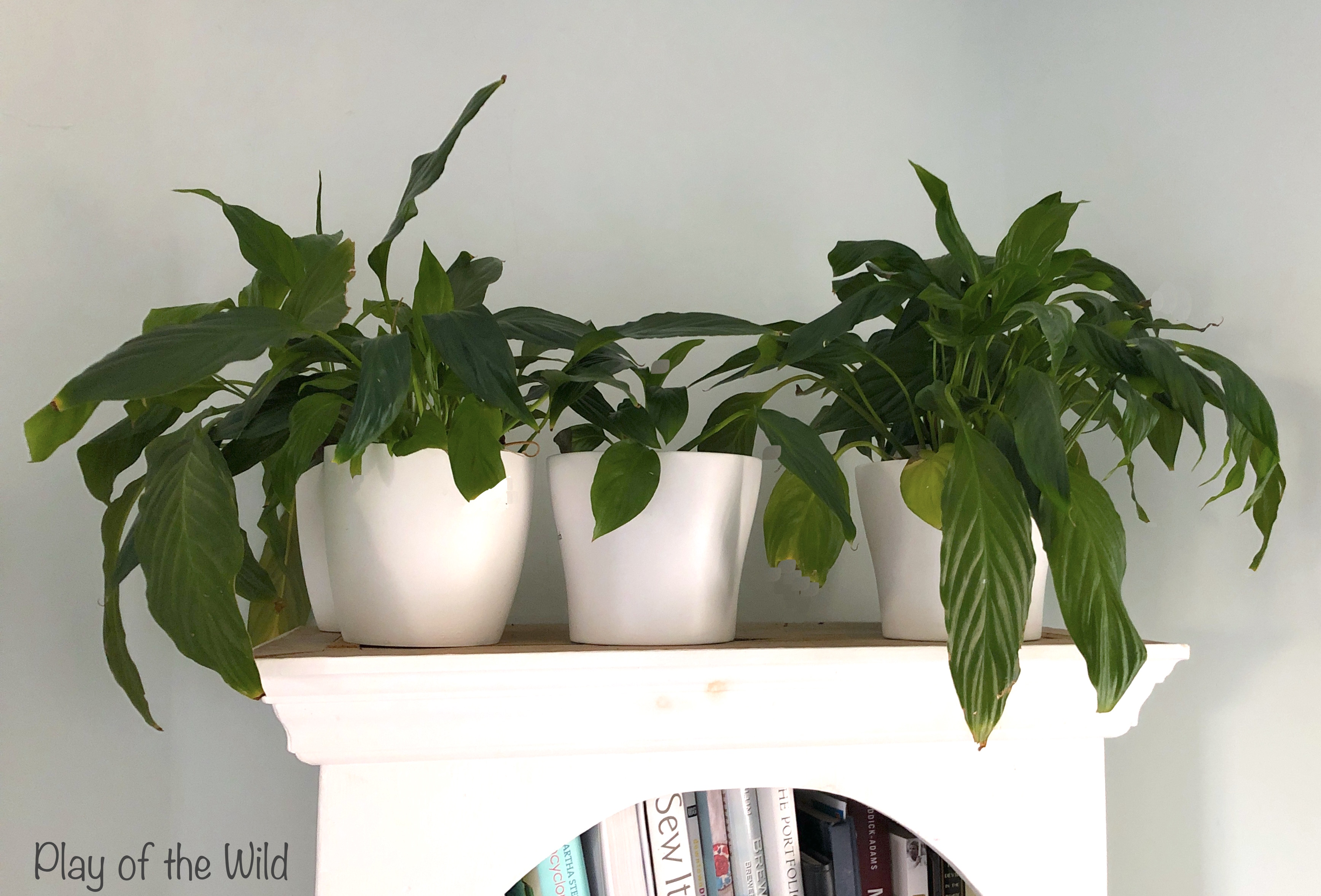 Best Plants for Classroom. Peace Lily to purify air.