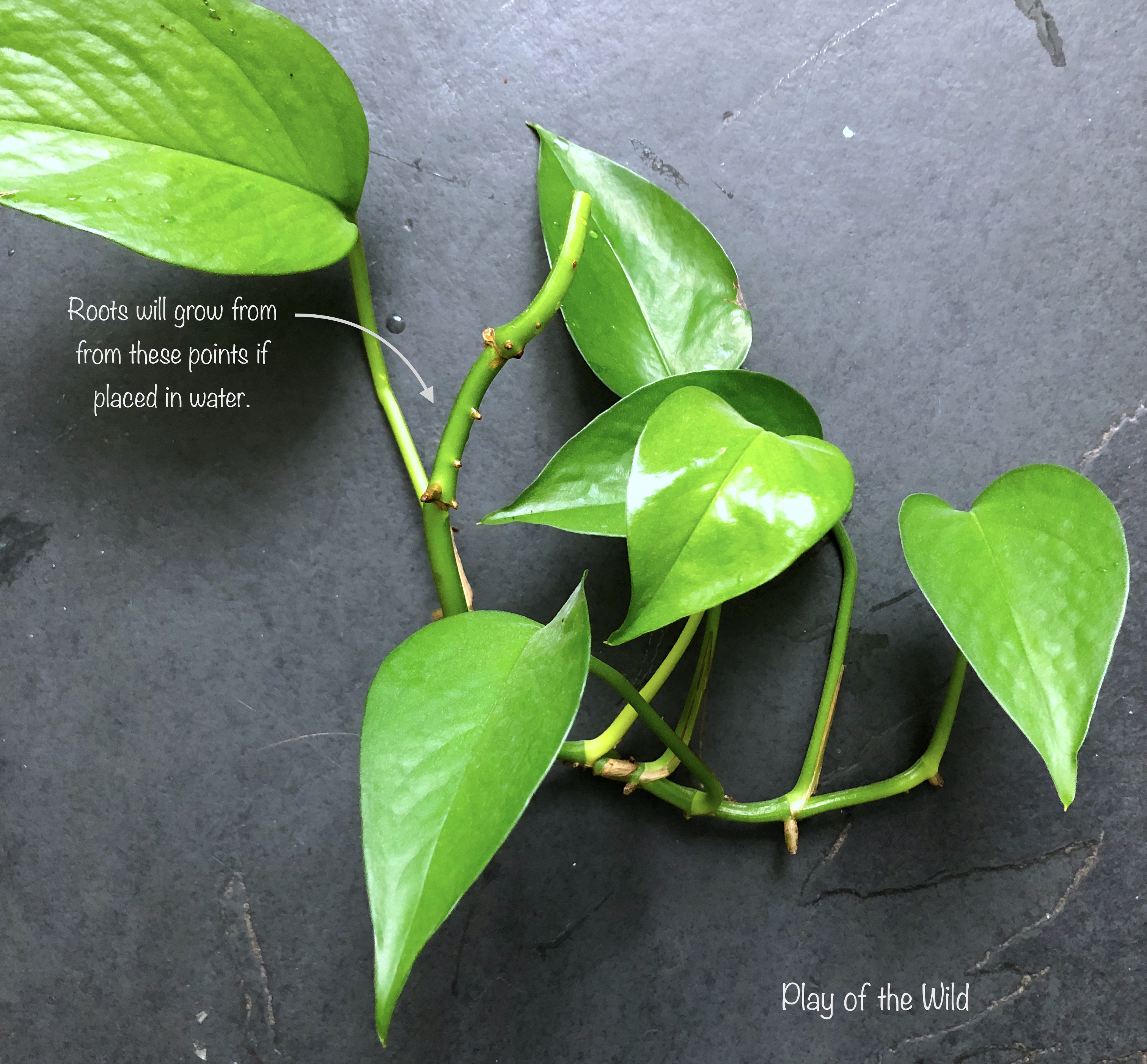 growing pothos from cuttings. gardening with children.