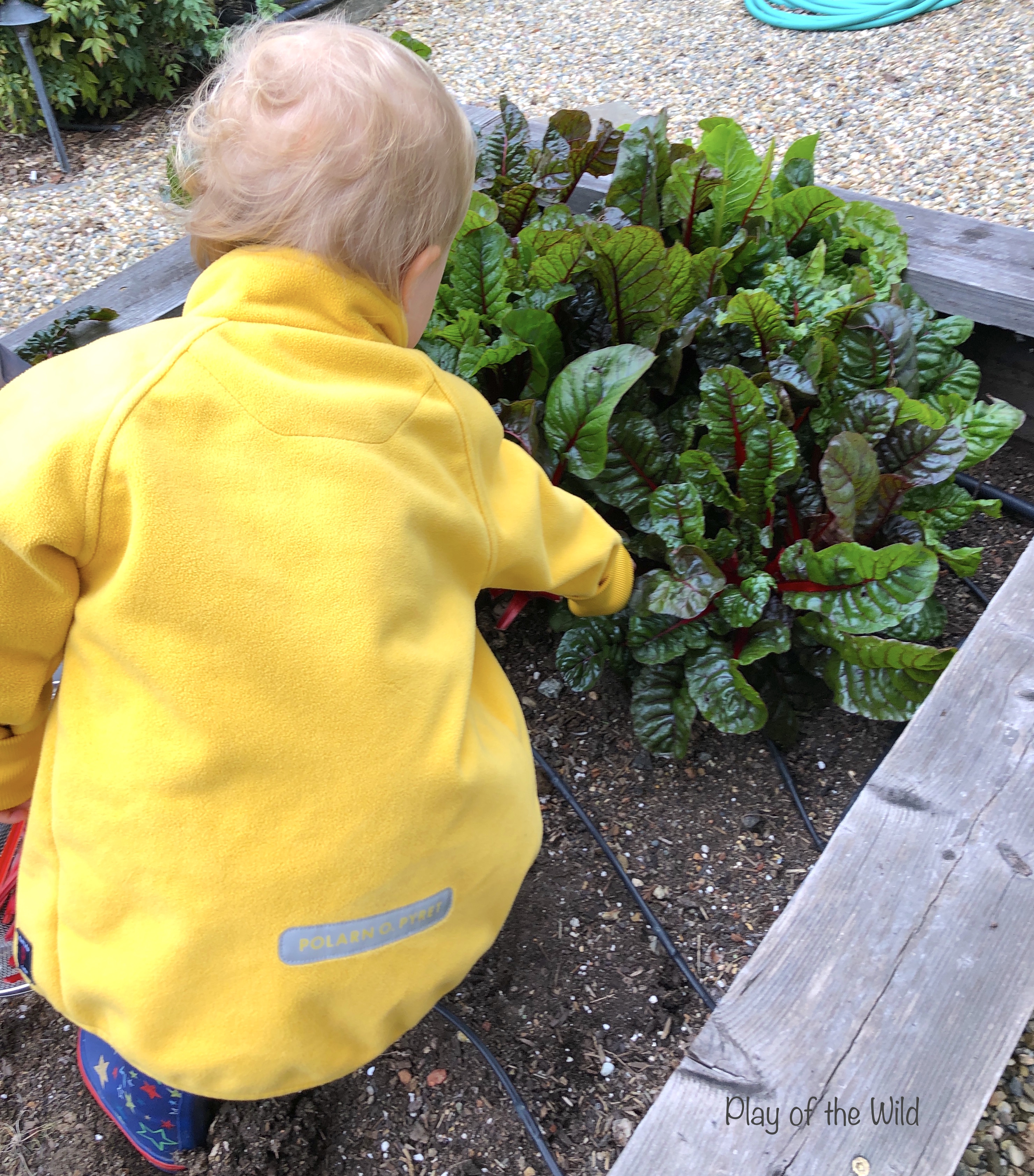 Outdoor Autumn & Winter Garden Activities for Children. harvesting rainbow chard / swiss chard.