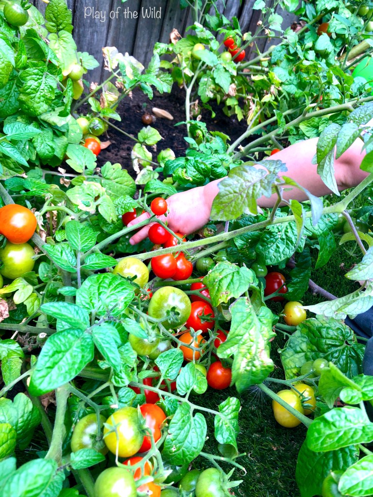 growing tomatos with children