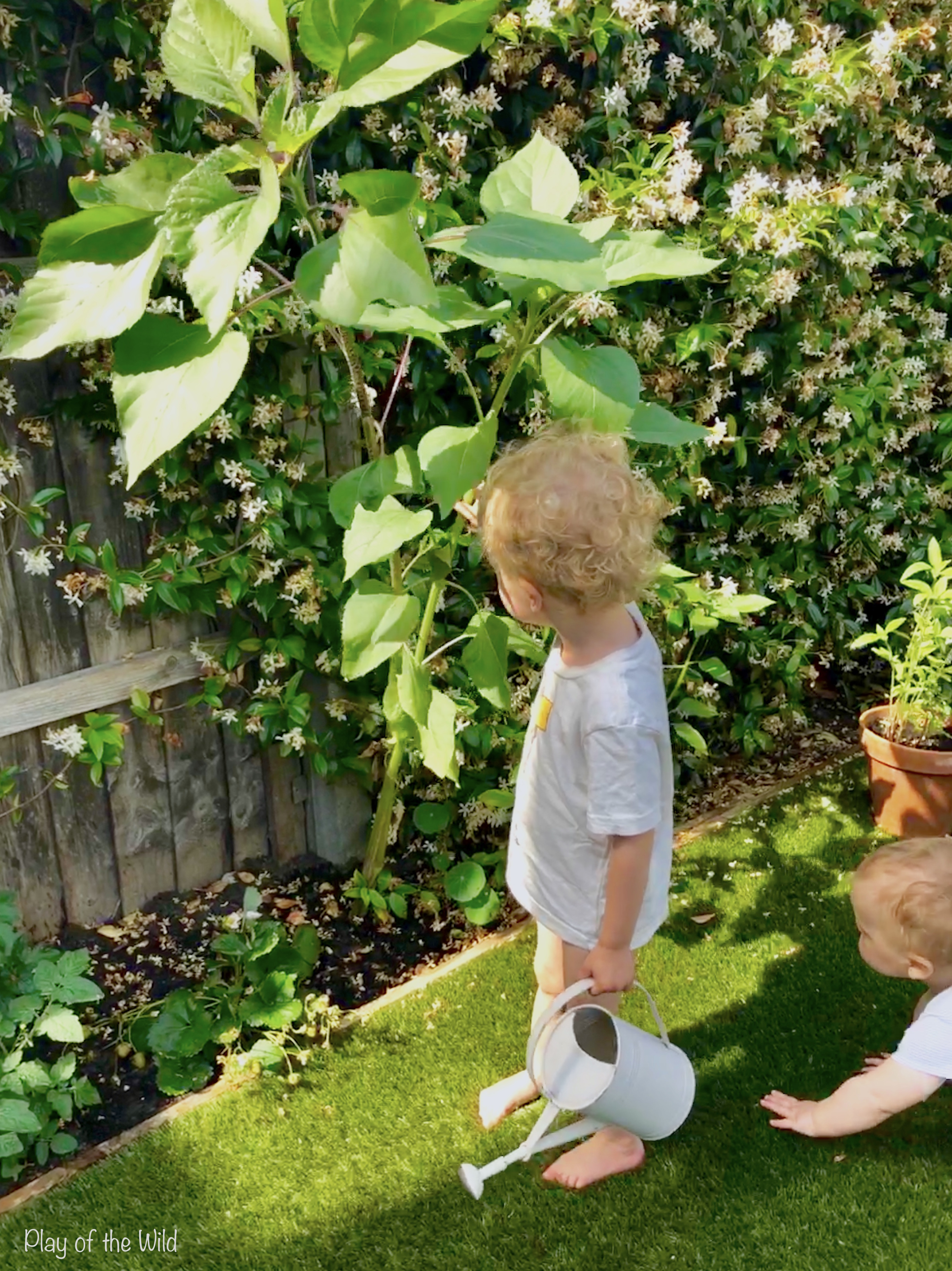 Growing Sunflowers with Children