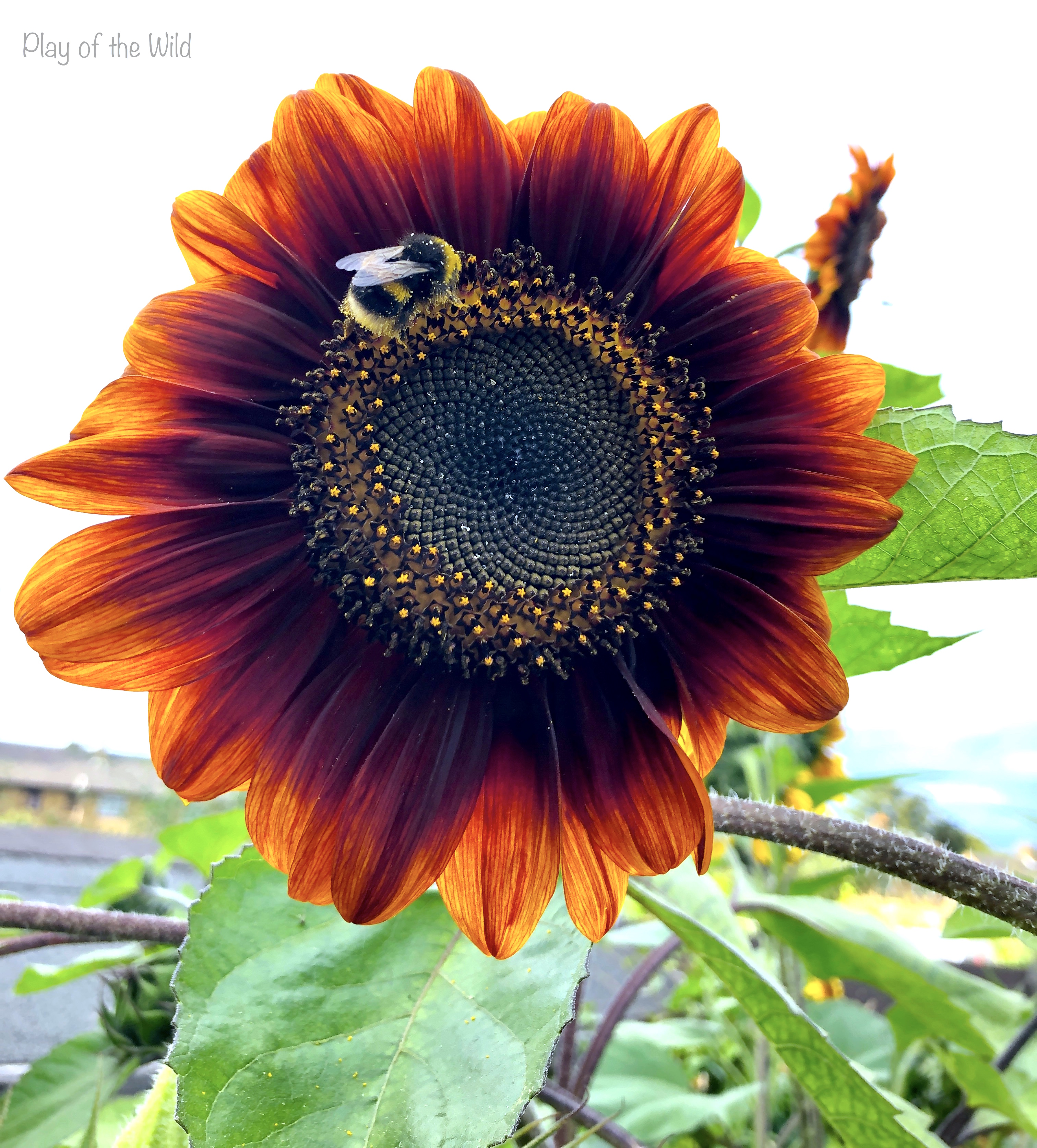 sunflower with bee on it.