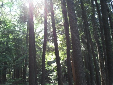 Light filtering through the pines.