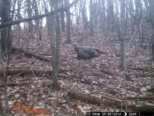 This, for the record, is the turkey I scared away on my last day of turkey season last year. Isn't he gorgeous?