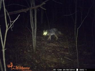 A lone coyote.