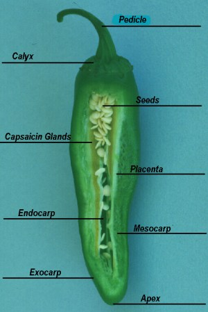 Growing Chiles