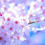 国立桜祭り2018日程や屋台の時間をチェック!開花状況はどうなる?
