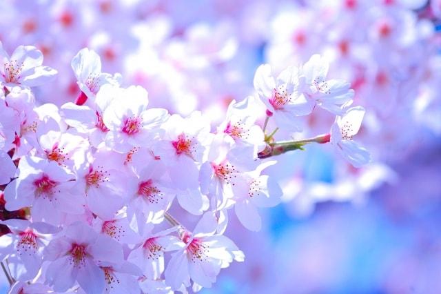 宇治川さくらまつり2018日程と桜の見頃情報!駐車場もチェック