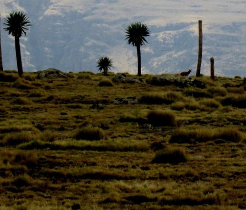 An Ethiopian wolf in the distance