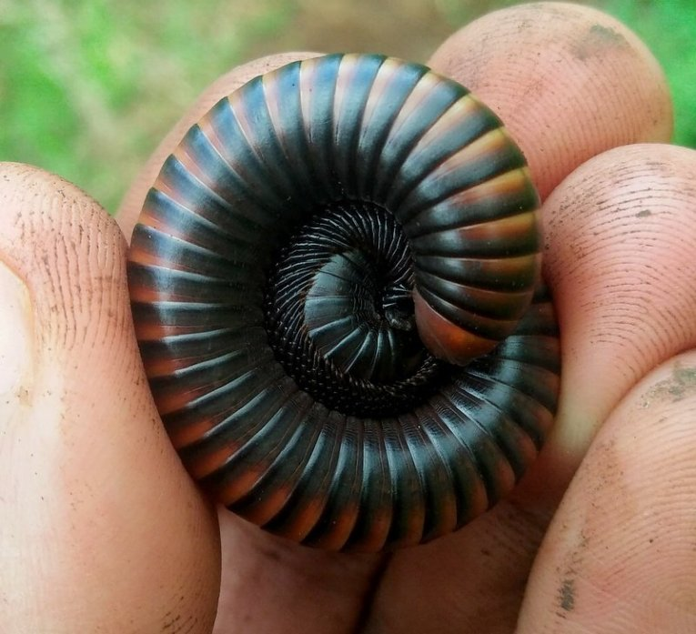 A rolled up millipede that as you can see looks beautiful