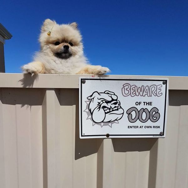 beware of dog signs, beware of dig, beware of dog cute, cute dogs, funny dogs, cute dogs behind sign, beware of cat