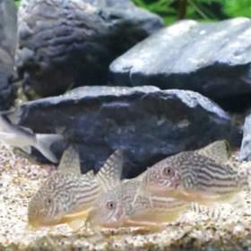 コリドラスの混泳にオススメの魚と混泳させるときの注意点を紹介!!