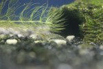 ミナミヌマエビを繁殖させよう!ミナミヌマエビの産卵と繁殖方法を紹介!!