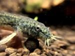 日本に生息している川魚を飼おう!!飼育にオススメの淡水魚を紹介!!