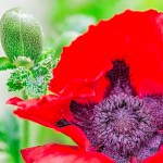 fleur de pavot et son bouton