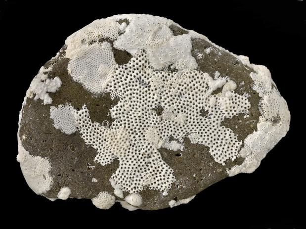 Image result for encrusting bryozoan