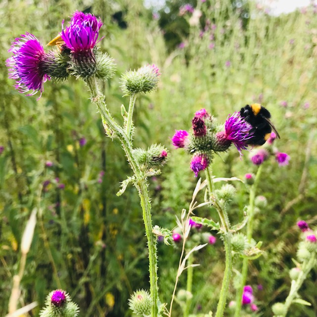 Pollinators depend on weeds to thrive