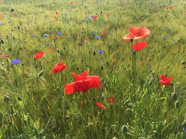 Barley field full of blooming weeds