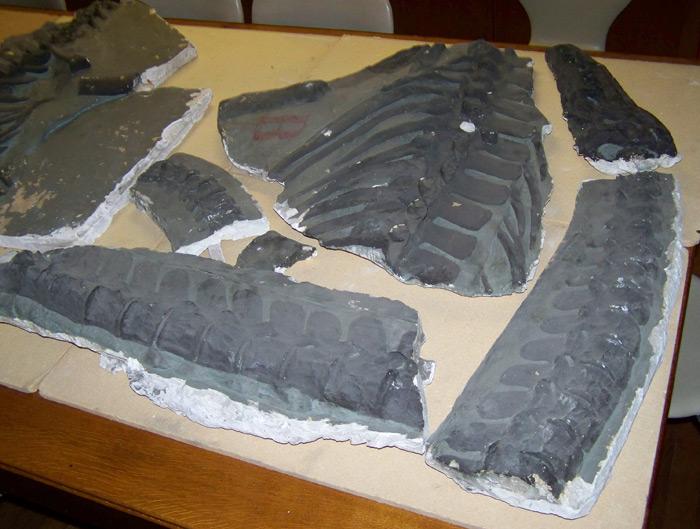 Attenborosaurus Trinity College