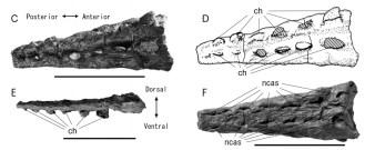 Albertonectes distal caudal vertebrae, from Kubo et al. (2012).