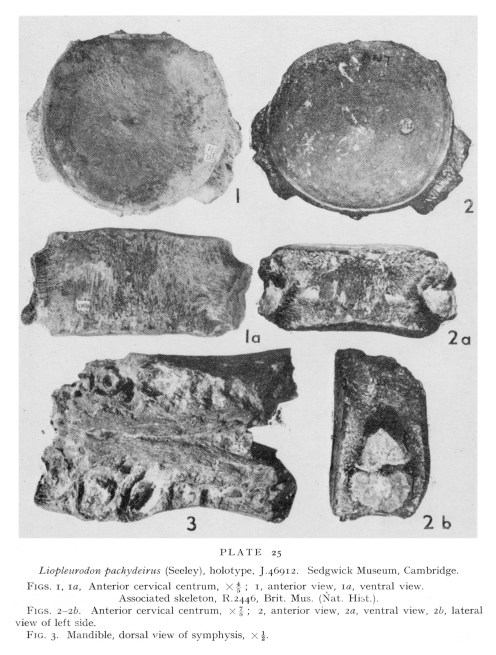 Holotype specimen of Liopleurodon pachydeirus (from Tarlo, 1960).