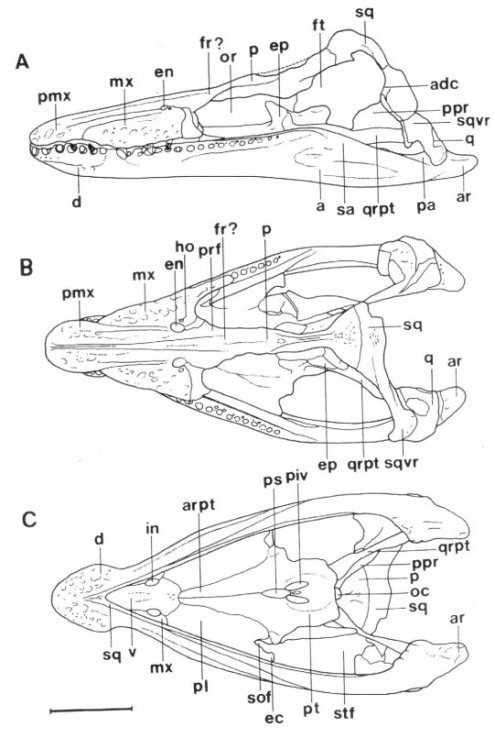 Skull of Maresaurus in lateral, dorsal and ventral view. From Gasparini (1997).