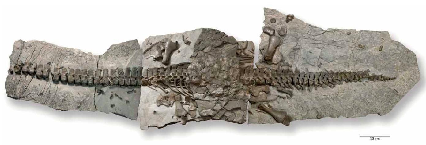 westphaliasaurus_skeleton