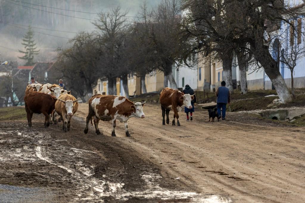Viscri la ora când vin vitele acasă