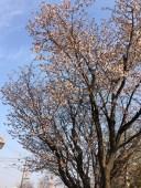 エルフィンロードの桜