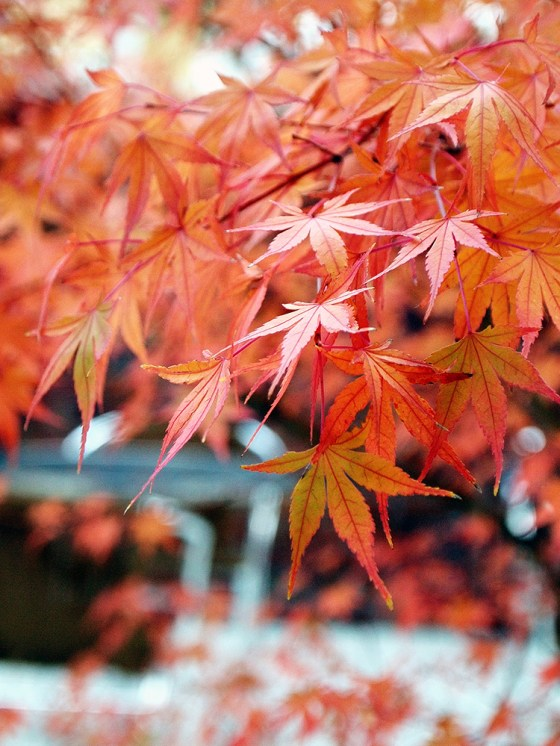 Maple tree in Sagano-Yu Cafe - Kyoto Arashiyama