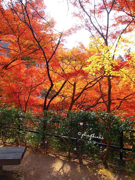 Autumn Colors Maple Trees - Kiyomizu Kyoto
